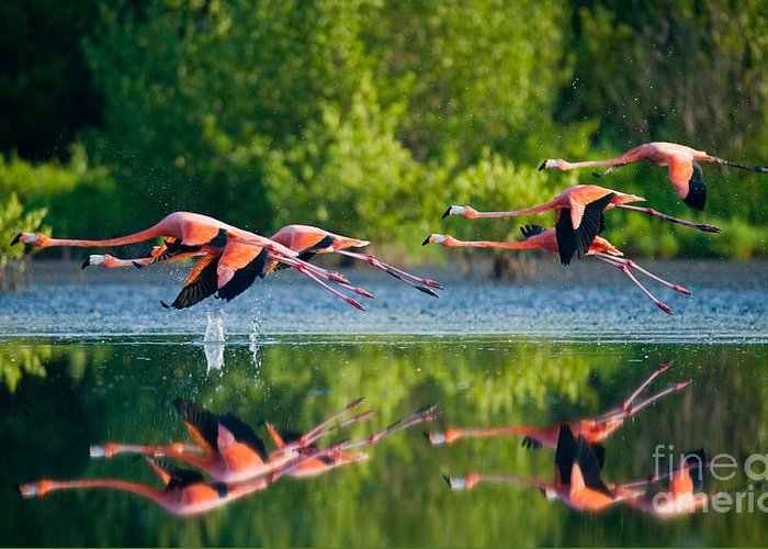 Pink Greeting Card featuring the photograph Caribbean Flamingos Flying Over Water by Gudkov Andrey