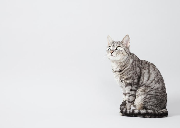 Pets Greeting Card featuring the photograph Cat Looking Up by Lisa Stirling