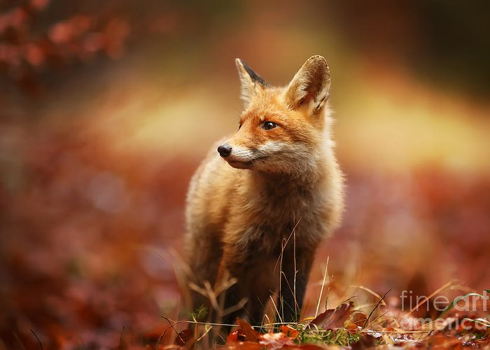 Fur Greeting Card featuring the photograph Cautious Fox Stopped At The Edge Of The by Michal Ninger