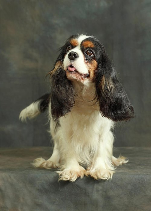 Pets Greeting Card featuring the photograph Cavalier King Charles Spaniel by Sergey Ryumin