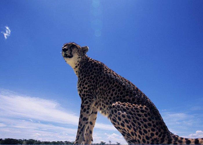 Kenya Greeting Card featuring the photograph Cheetah Acinonyx Jubatus, Against Blue by Anup Shah