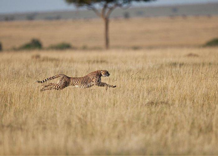 Kenya Greeting Card featuring the photograph Cheetah Acinonyx Jubatus Female At by Mike Powles
