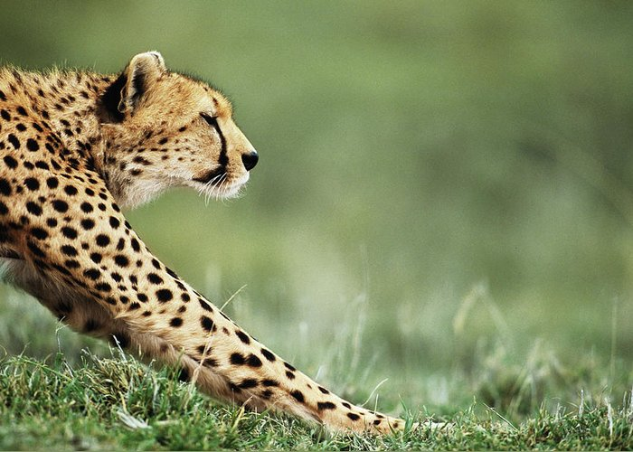 Grass Greeting Card featuring the photograph Cheetah Acinonyx Jubatus Stretching by Anup Shah