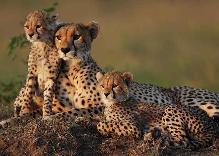 Kenya Greeting Card featuring the photograph Cheetah Family by Gp232