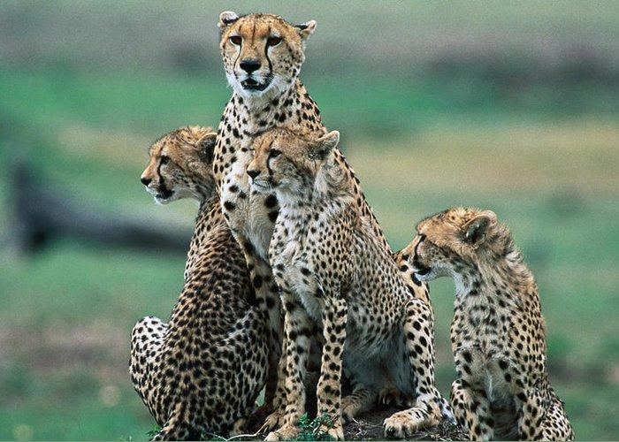 Kenya Greeting Card featuring the photograph Cheetahs Acinonyx Jubatus., Masai Mara by Mark Newman