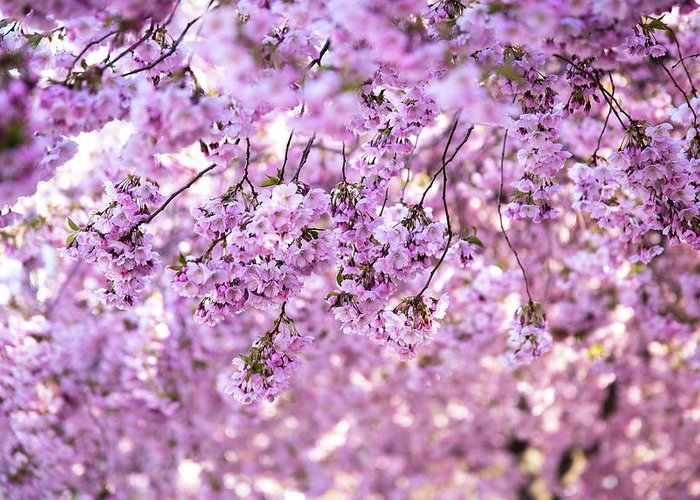 Cherry Greeting Card featuring the photograph Cherry Blossom Flowers by Nicklas Gustafsson