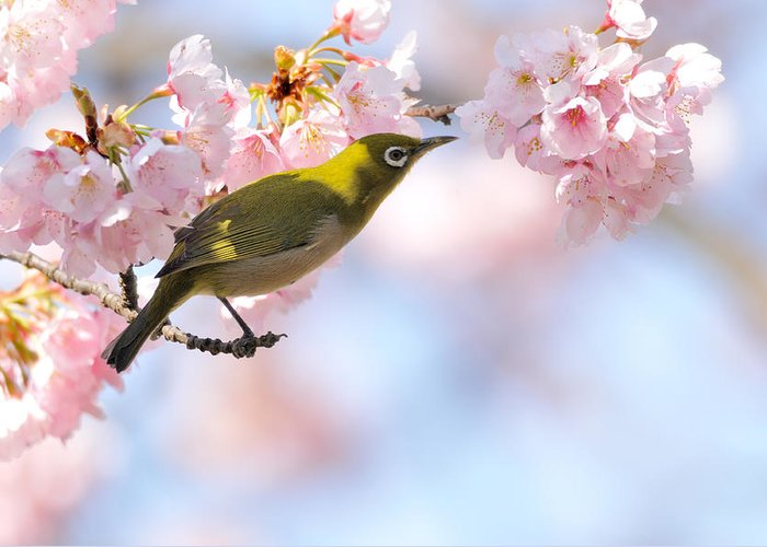 Animal Themes Greeting Card featuring the photograph Cherry Blossoms by Myu-myu