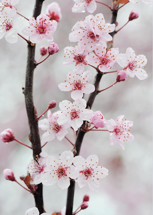 Cherry Greeting Card featuring the photograph Cherry Plum Purple Plum Pink Flowers On by Martin Ruegner