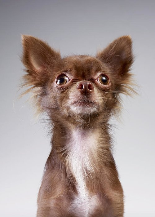 Pets Greeting Card featuring the photograph Chihuahua Looking Up by Stilllifephotographer
