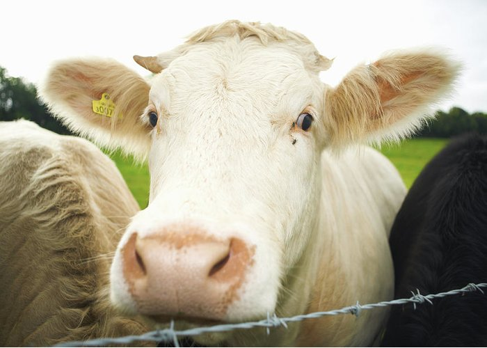 Free Range Greeting Card featuring the photograph Close Up Of Cows Face by Peter Muller