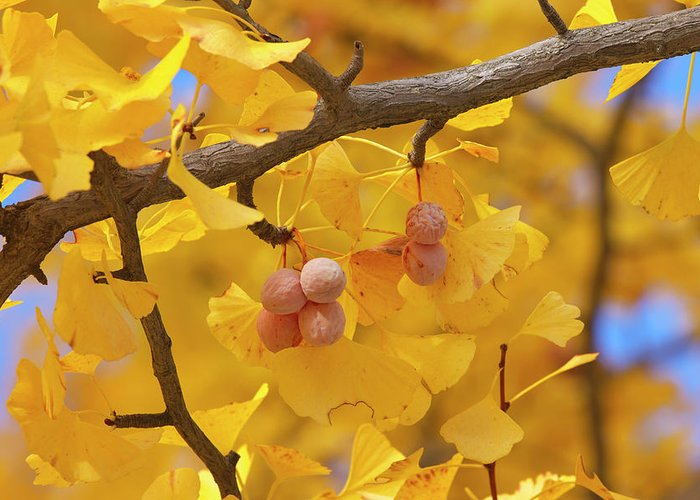 Ginkgo Tree Greeting Card featuring the photograph Close-up Of Gingko Tree In Autumn by Wada Tetsuo/a.collectionrf