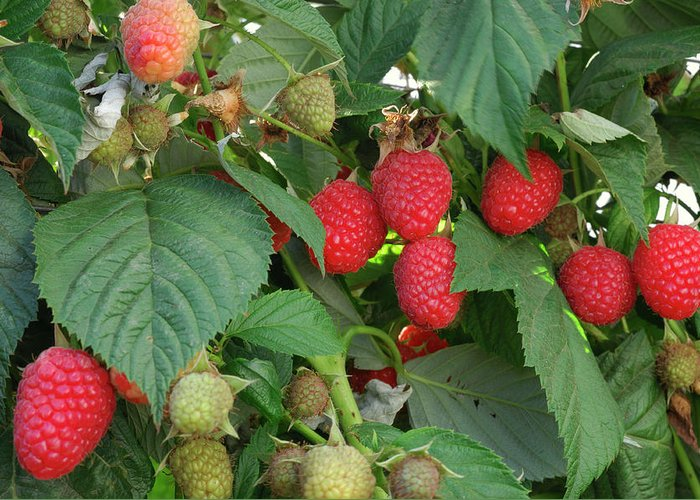 Non-urban Scene Greeting Card featuring the photograph Close-up Ripening Organic Raspberries by Gomezdavid