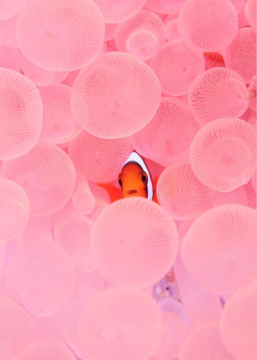 Underwater Greeting Card featuring the photograph Clownfish In Corals by Yusuke Okada/a.collectionrf