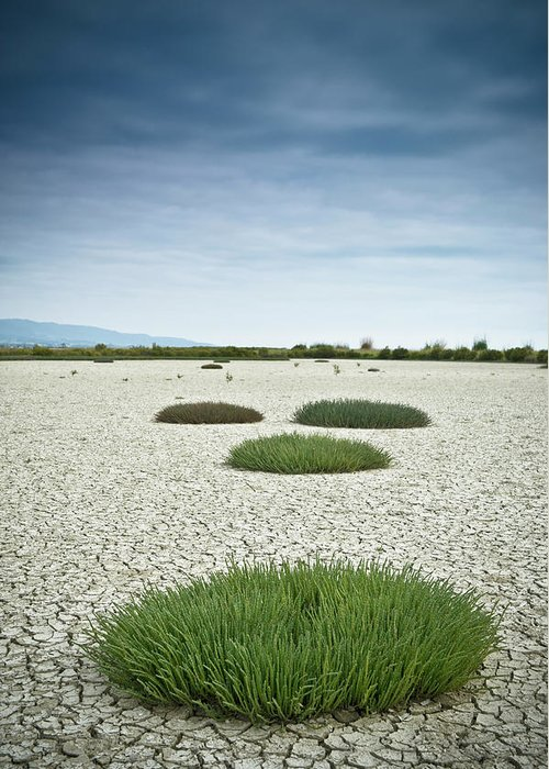 Grass Greeting Card featuring the photograph Clumps Of Grass Growing Through Cracked by David Duchemin / Design Pics
