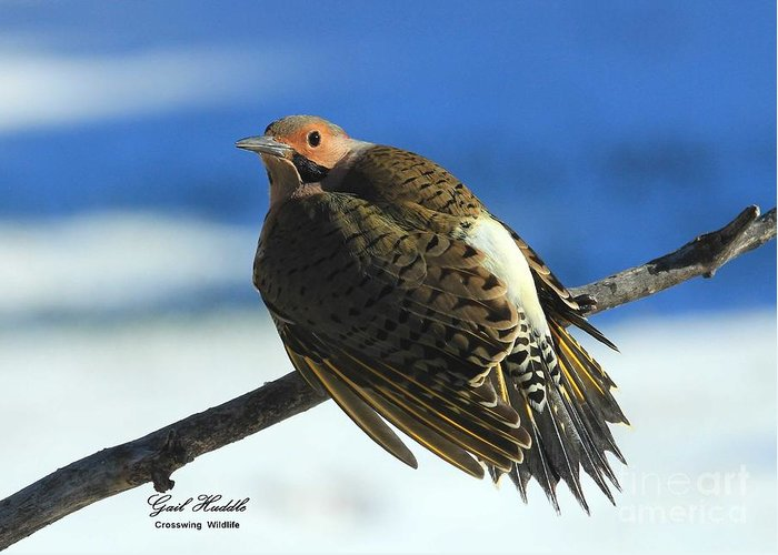 Northern Yellow-shafted Flicker Greeting Card featuring the photograph Cold Day Warm Sun by Gail Huddle