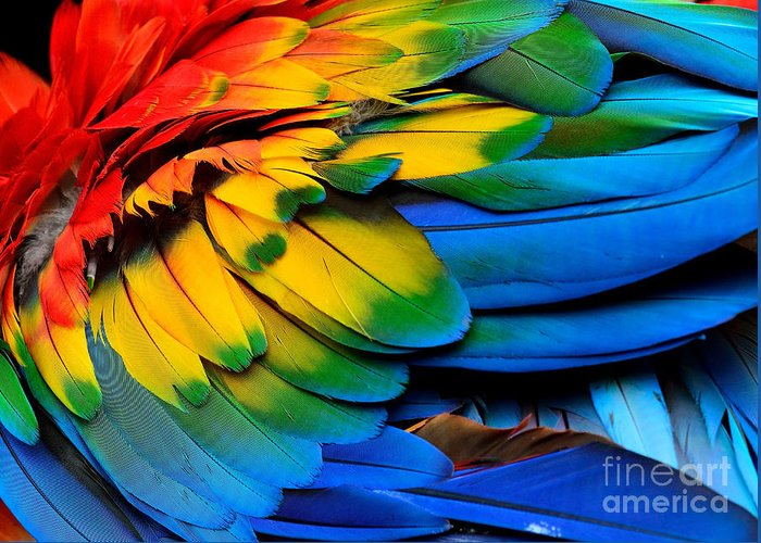Feather Greeting Card featuring the photograph Colorful Of Scarlet Macaw Birds by Super Prin