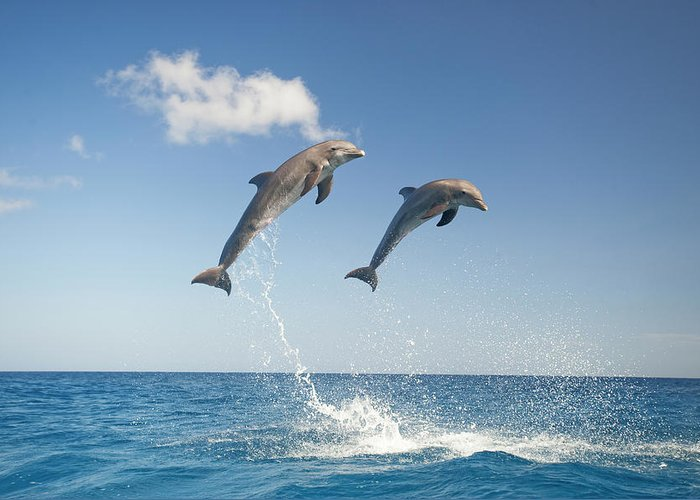 Aerodynamic Greeting Card featuring the photograph Common Bottlenose Dolphins Tursiops by Mike Hill