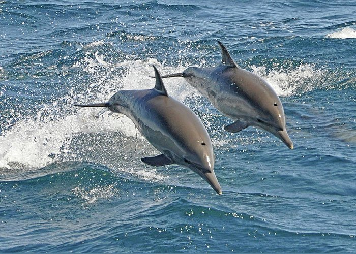 Diving Into Water Greeting Card featuring the photograph Common Dolphins Leaping by Tim Melling