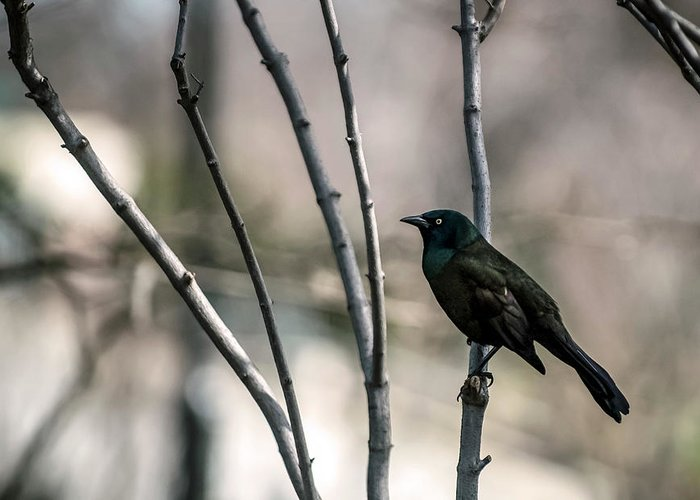 Animal Themes Greeting Card featuring the photograph Common Grackle by By Ken Ilio