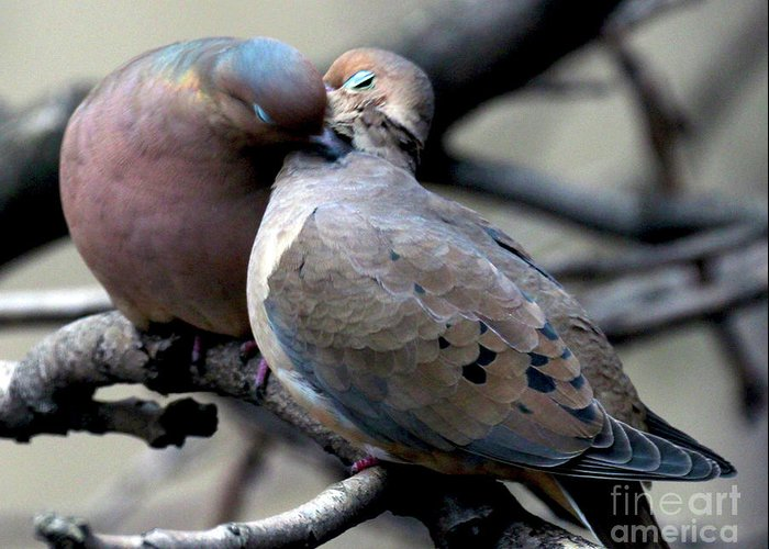 Female Mourning Dove Greeting Card featuring the photograph Cooing Mourning Doves 2 by Patricia Youngquist