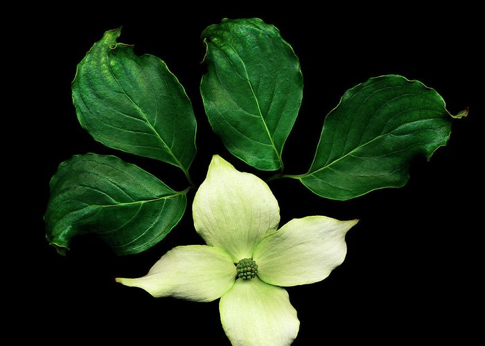 Dogwood Greeting Card featuring the photograph Cornus Plant Against Black Background by Mike Hill