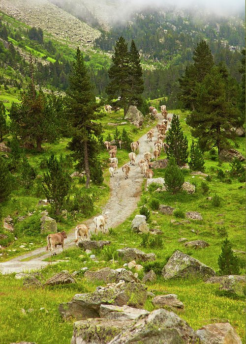 Catalonia Greeting Card featuring the photograph Cows Walking In Catalan Pyrenees by Gonzalo Azumendi