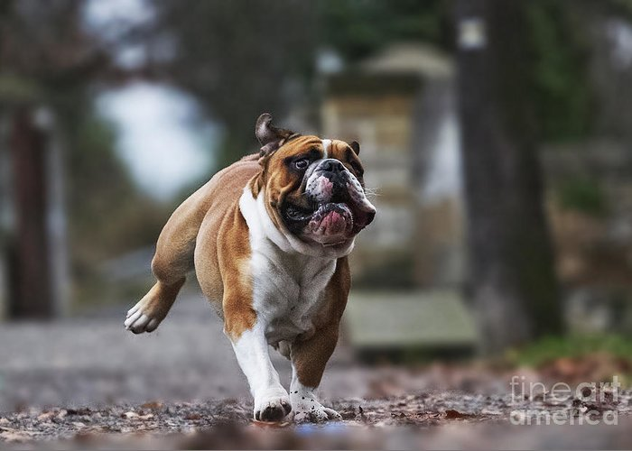 Magic Greeting Card featuring the photograph Crazy English Bulldog Puppy Running by Best Dog Photo