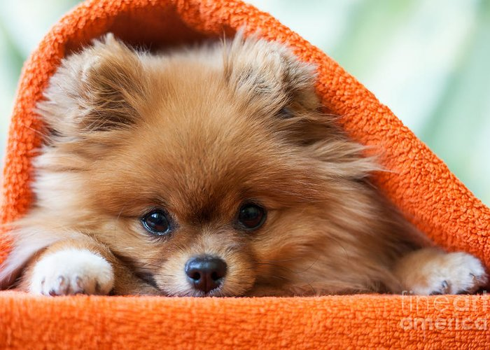 Gift Greeting Card featuring the photograph Cute And Funny Puppy Pomeranian Smiling by Barinovalena