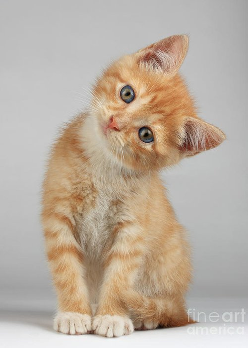 Fur Greeting Card featuring the photograph Cute Little Kitten by Lana Langlois