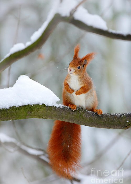 Small Greeting Card featuring the photograph Cute Red Squirrel In Winter Scene With by Ondrej Prosicky
