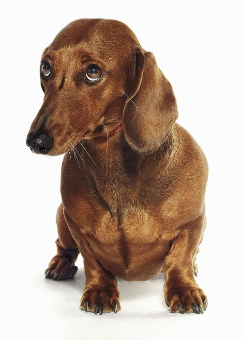 Pets Greeting Card featuring the photograph Dachshund Looking Up by Gandee Vasan