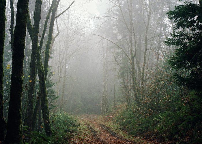 Tranquility Greeting Card featuring the photograph Dirt Road Leading Through Foggy Forest by Danielle D. Hughson