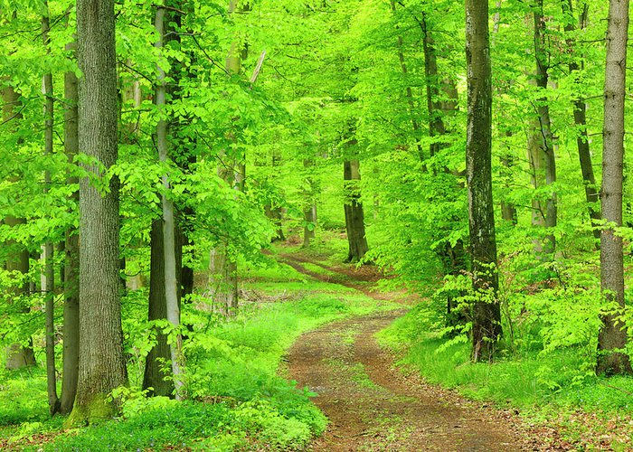 Environmental Conservation Greeting Card featuring the photograph Dirt Road Through Lush Beech Tree by Avtg