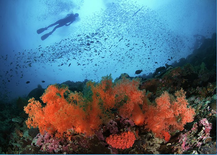 Underwater Greeting Card featuring the photograph Diver And Soft Corals In Pescador Island by Nature, Underwater And Art Photos. Www.narchuk.com