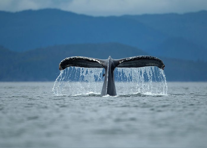 Diving Into Water Greeting Card featuring the photograph Diving Humpback Whale, Alaska by Paul Souders