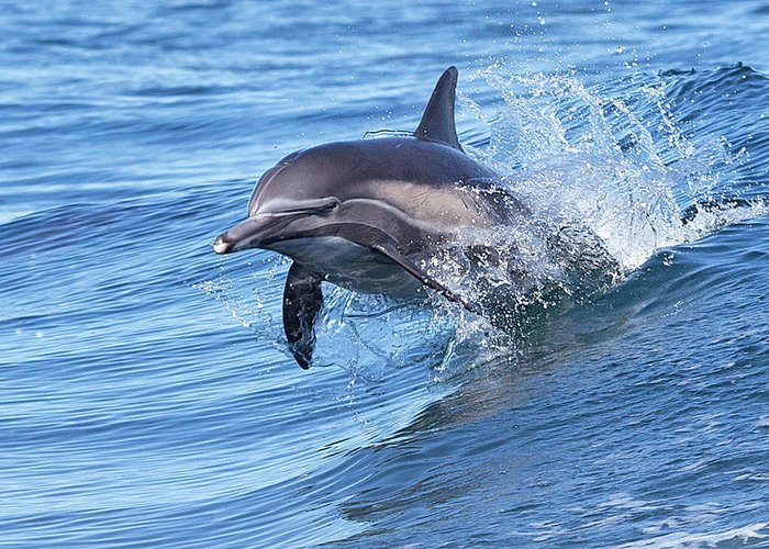 Wake Greeting Card featuring the photograph Dolphin Riding Wake by Greg Boreham (treklightly)