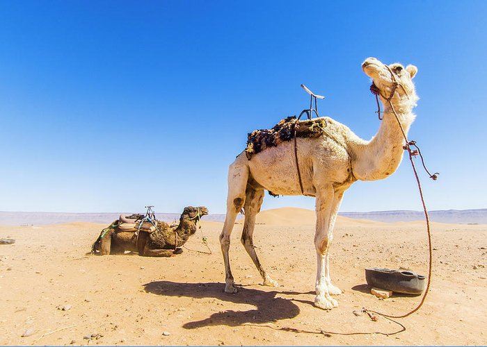 Working Animal Greeting Card featuring the photograph Draa Valley, Camel At Tinfou by Maremagnum