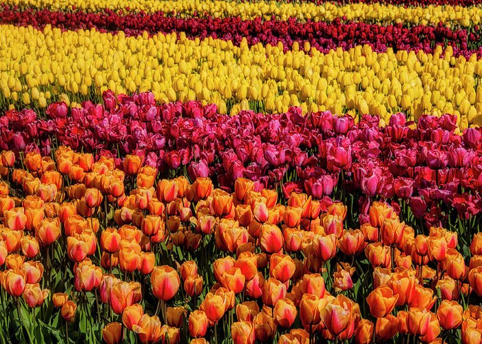 Tulip Greeting Card featuring the photograph Dreaming Of Endless Colorful Tulips by Garry Gay
