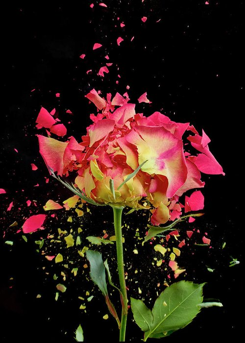 Black Background Greeting Card featuring the photograph Exploding Rose by Don Farrall