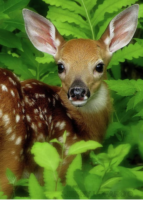 Fawn Greeting Card featuring the photograph Fawn by Jerry LoFaro