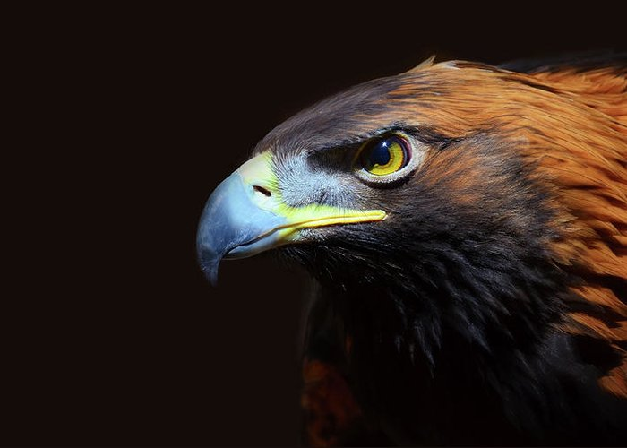 Animal Themes Greeting Card featuring the photograph Female Golden Eagle by A L Christensen