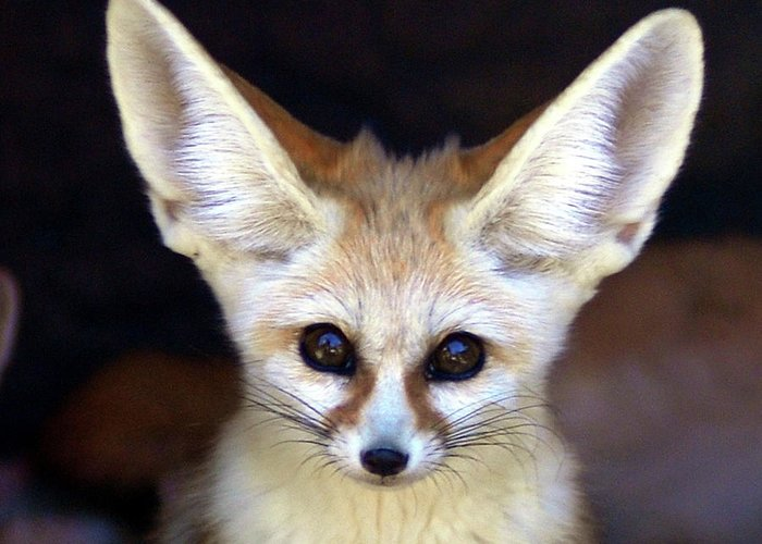 Alertness Greeting Card featuring the photograph Fennec Fox by Floridapfe From S.korea Kim In Cherl