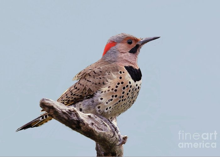 Northern Yellow-shafted Flicker Greeting Card featuring the photograph Flicker Of North America-1 by Gail Huddle