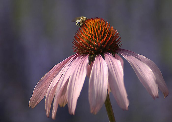 Insect Greeting Card featuring the photograph Flower And Bee by Bob Van Den Berg Photography