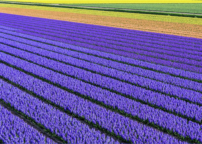 Tranquility Greeting Card featuring the photograph Flower Fields In Spring In Holland by Frans Sellies