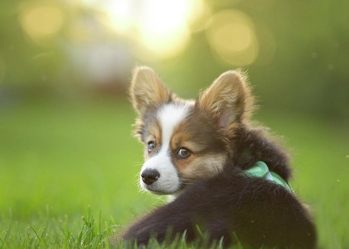 Pets Greeting Card featuring the photograph Fluffy Corgi Puppy Looks Back by Holly Hildreth