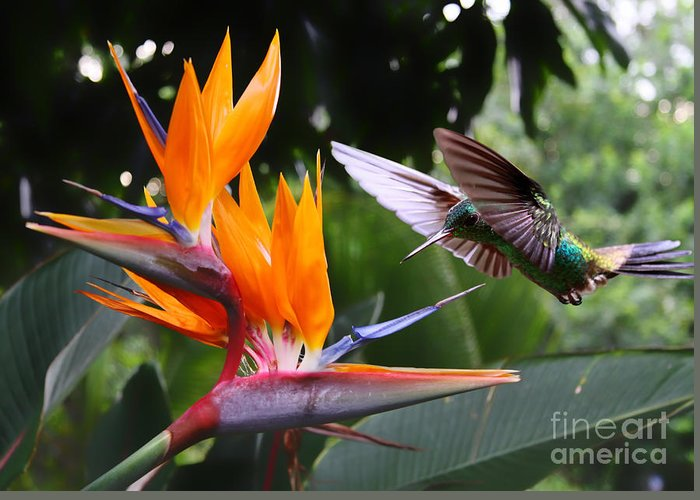 Small Greeting Card featuring the photograph Flying Hummingbird At A Strelitzia by Henner Damke