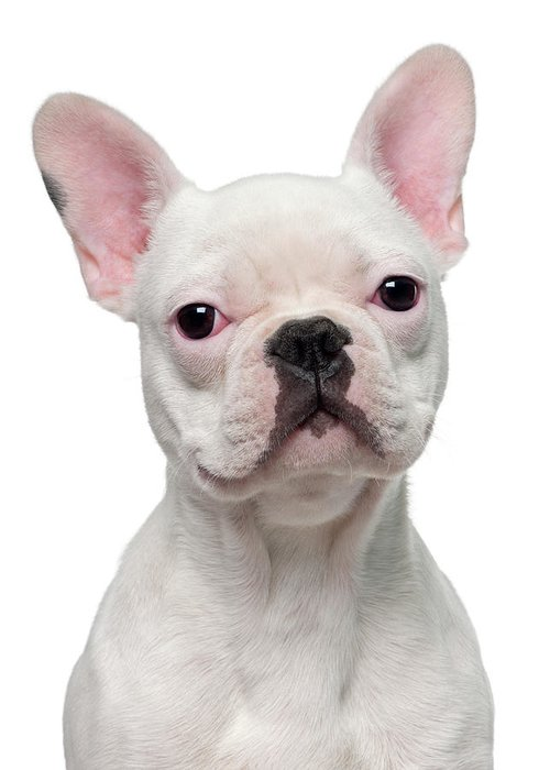 Pets Greeting Card featuring the photograph French Bulldog Puppy 5 Months Old by Life On White