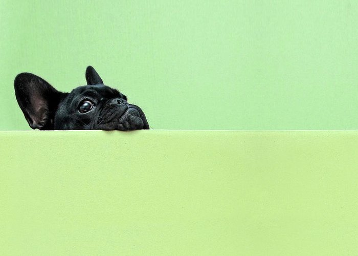 Pets Greeting Card featuring the photograph French Bulldog Puppy by Retales Botijero