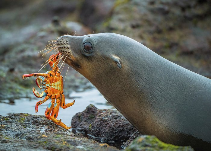 Adult Greeting Card featuring the photograph Galapagos Sea Lion With Sally Lightfoot by Tui De Roy